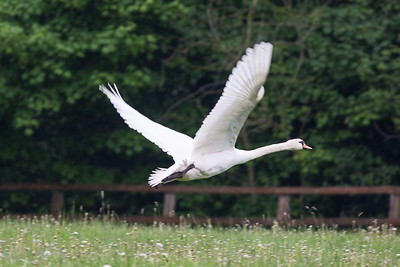 Low Flying Swan 170517 Home