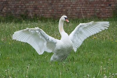 Swan 170517 Home