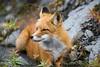 Red Fox wandering around in Hatchers Pass