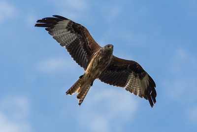 Red Kite A 070717