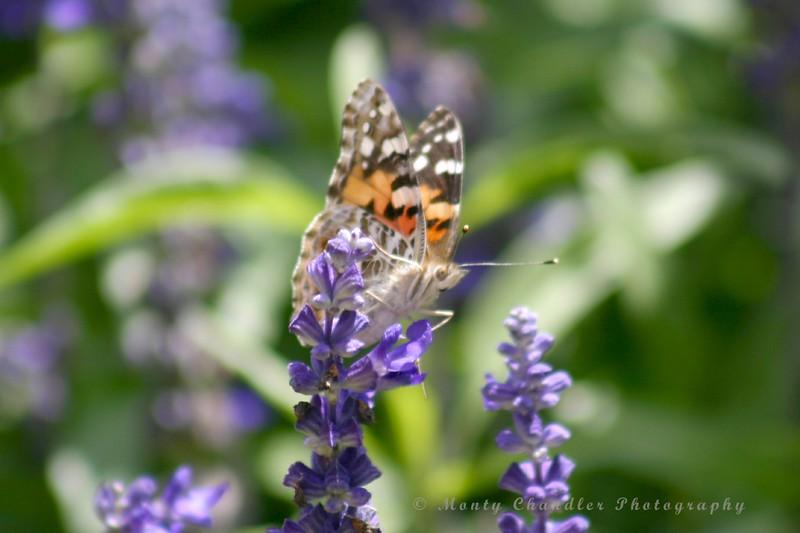 Rocky Mountain Butterfly