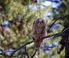 Juvenile great horned owl.