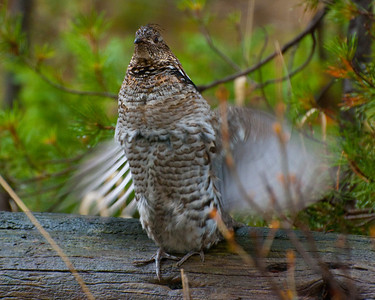 "Ruffed Grouse ""drumming"""