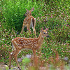 Two fawns in the clover, Annapolis Royal, NS.