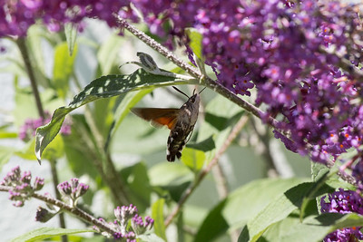 Hummingbird Moth A 020717 Home