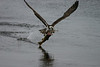 Osprey catches a brown on the Little Deschutes
