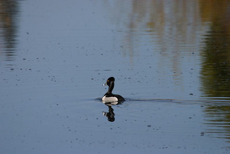 Male Ring-Neck Duck