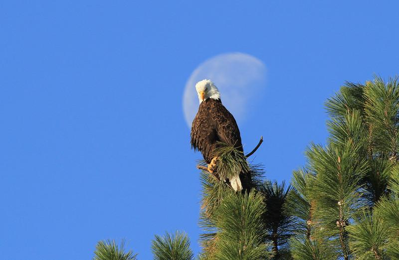 Bald eagle at Caldera Springs.