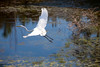 An Egret takes flight from a pond on the Moorland course at the Legends golf complex in Myrtle Beach, sc during the 2011 Maseratti