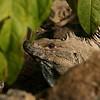 Iguana Mal Pais, Costa Rica #03