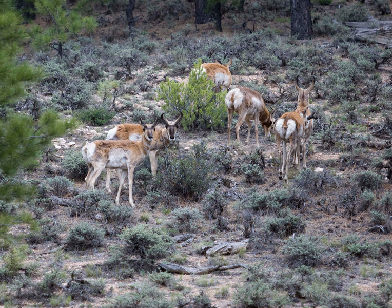 A small herd of Pronghorn Deer feed on the side of a hill out in the Dixie National Forest