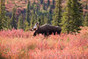 Images of a Bull Moose grazing in Denali National Park