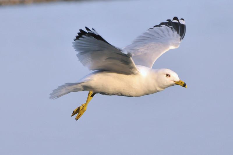 Chicago - Bird Flying over Lake Michigan