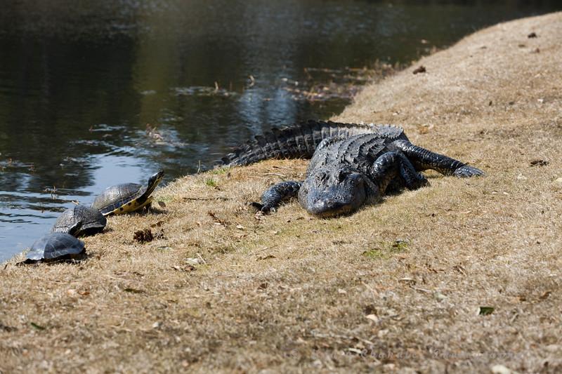 A gator sunbathing in Myrtle Beach, SC