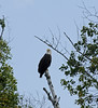 And so to Sayner and Plum Lake for the holiday weekend, no trains here, just bald eagles...