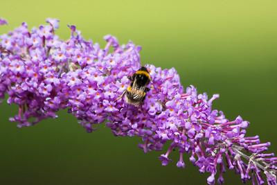 Budlea Bee 020717 Home