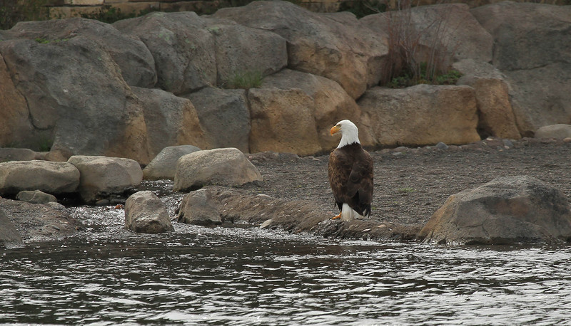 Eagle at Caldera Lakehouse.
