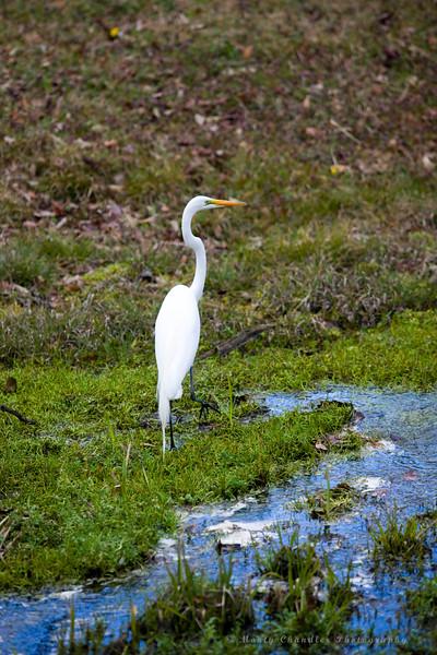 A crane fishing @ Panthers Run Golf Links - Ocean Ridge Plantation  - Ocean Isle Beach, NC
