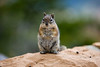 A squirrel sits up and takes notice at Bryce Canyon National Park