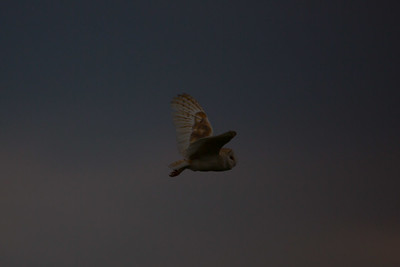 Barn Owl B 090717 Home