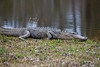 A sunbathing gator @ Panthers Run Golf Links - Ocean Ridge Plantation  - Ocean Isle Beach, NC