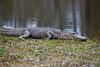 A sunbathing gator @ Panthers Run Golf Links - Ocean Ridge Plantation  - Ocean Isle Beach, NC