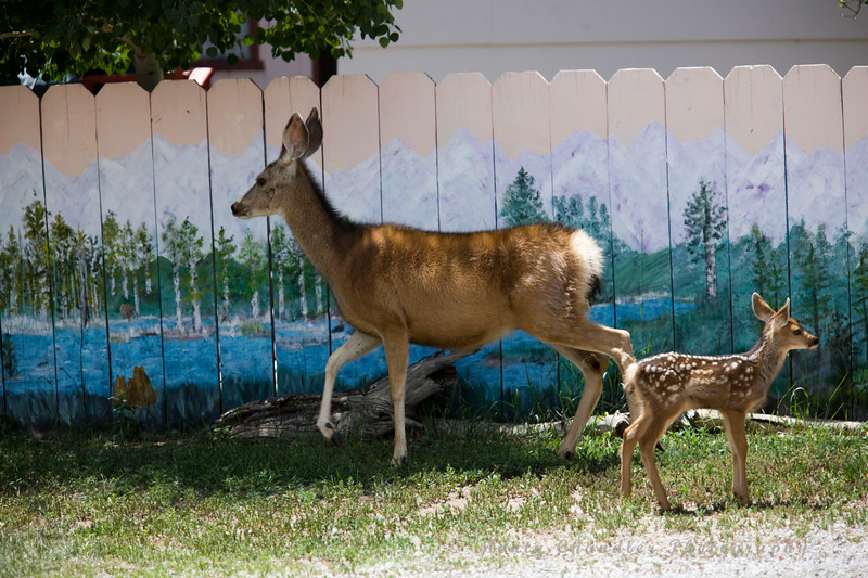 A mule deer and its fawn hang around a house in Buena Vista, CO