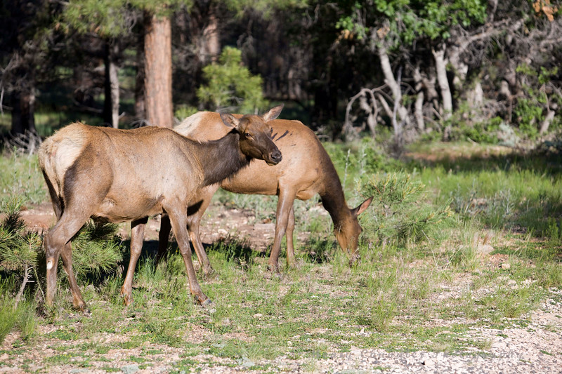 Elk in the South Rim of  The Grand Canyon National Park