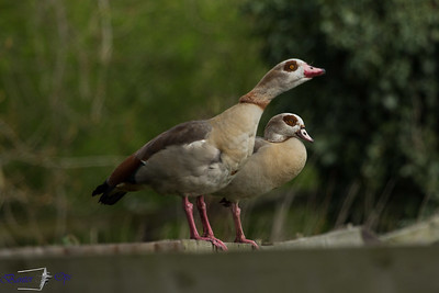 Egyptian Geese 090419 Home