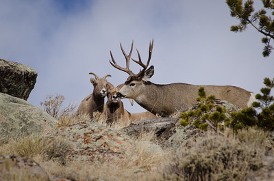 Mule Deer walking past Bighorn Sheep ram and ewe.