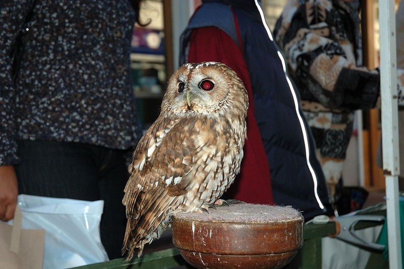 In Ely town centre there was a fund raiser for the Raptor Foundation, a charity which looks after birds of prey and is absed near St Ives in Cambridgeshire. This Tawny Owl was one of the stars of the show.