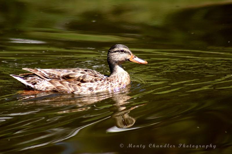 Rocky Mountain waterfowl