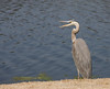 Blue Heron in Myrtle Beach, SC