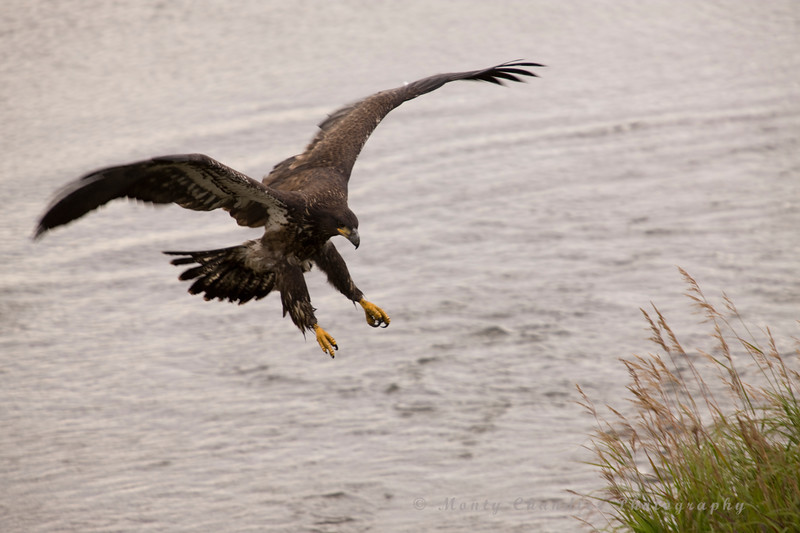 A juvenile bald Eagle in action around Potters Marsh