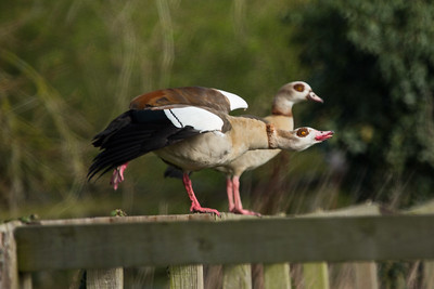 Egyptian Geese 030419