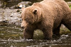 An Alaskan Brown Bear (Grizzly) fishes for Salmon in the Russian River