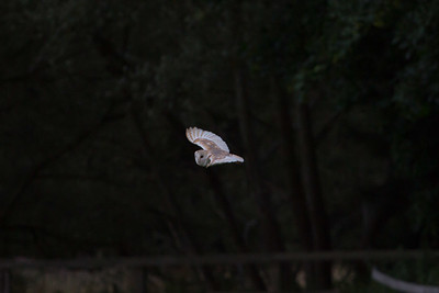 Barn Owl D 090717 Home