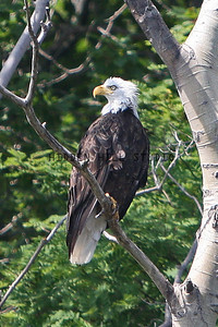 Young Bald Eagle