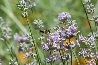 Lavender Buzzy 020717 Home