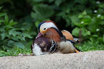 Mandarin Duck 300518 Thrigby Hall