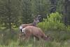 Bucks in velvet