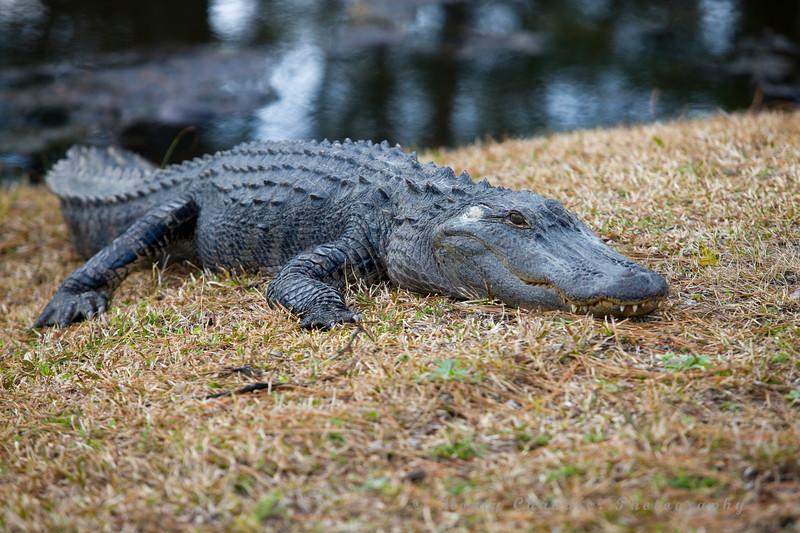 A slightly larger gator rests on the course @ Panthers Run Golf Links - Ocean Ridge Plantation  - Ocean Isle Beach, NC