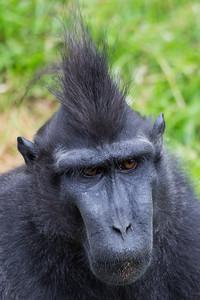 Sulawesi Crested Macaque 300518 Thrigby Hall