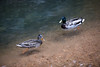 Ducks at Seven Falls in Colorado Springs, CO