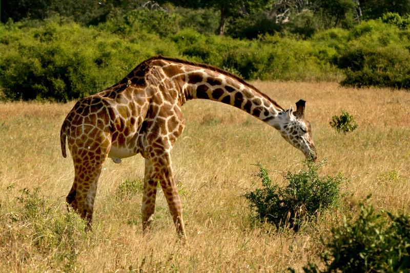 Masai Giraffe<br /> Tsavo West National Park, Kenya