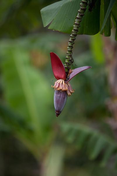Banana Tree<br /> Nicaragua