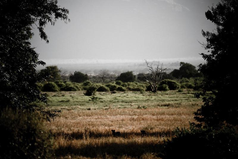Tsavo Lions in the Shade<br /> Tsavo West National Park, Kenya