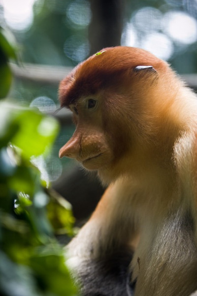 Proboscis Monkey<br /> Singapore Zoo