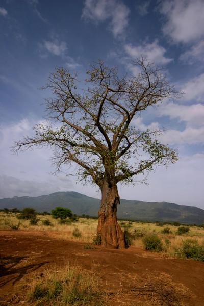 Boabab Tree<br /> Tsavo West National Park, Kenya
