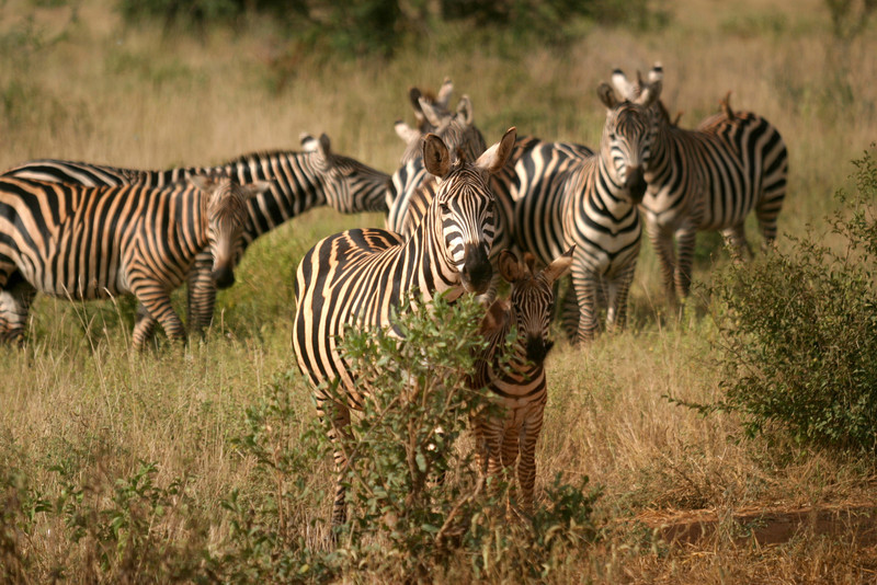 Burchell's Zebras<br /> Tsavo West National Park, Kenya